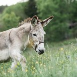 Walk with donkeys in Luc-en-Diois (Drôme, Vercors)