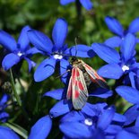 Hiking to discover the alpine butterflies (Savoie, Maurienne)