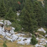 Observation of the chamois mating in the Vercors Massif